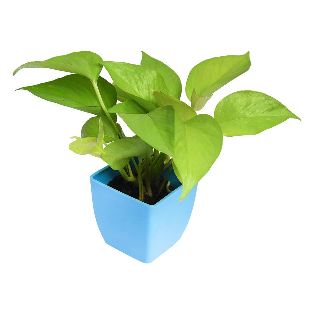 Green Money Plant Buy Online In India From Vitri Greens