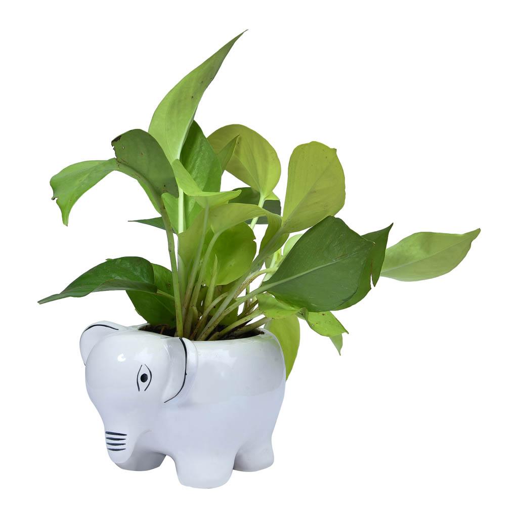 Buy Golden Money Plant In Elephant Shaped Pot Online In India Vitri Greens